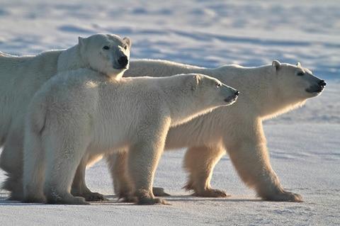 Polar Bear Mom with Cubs